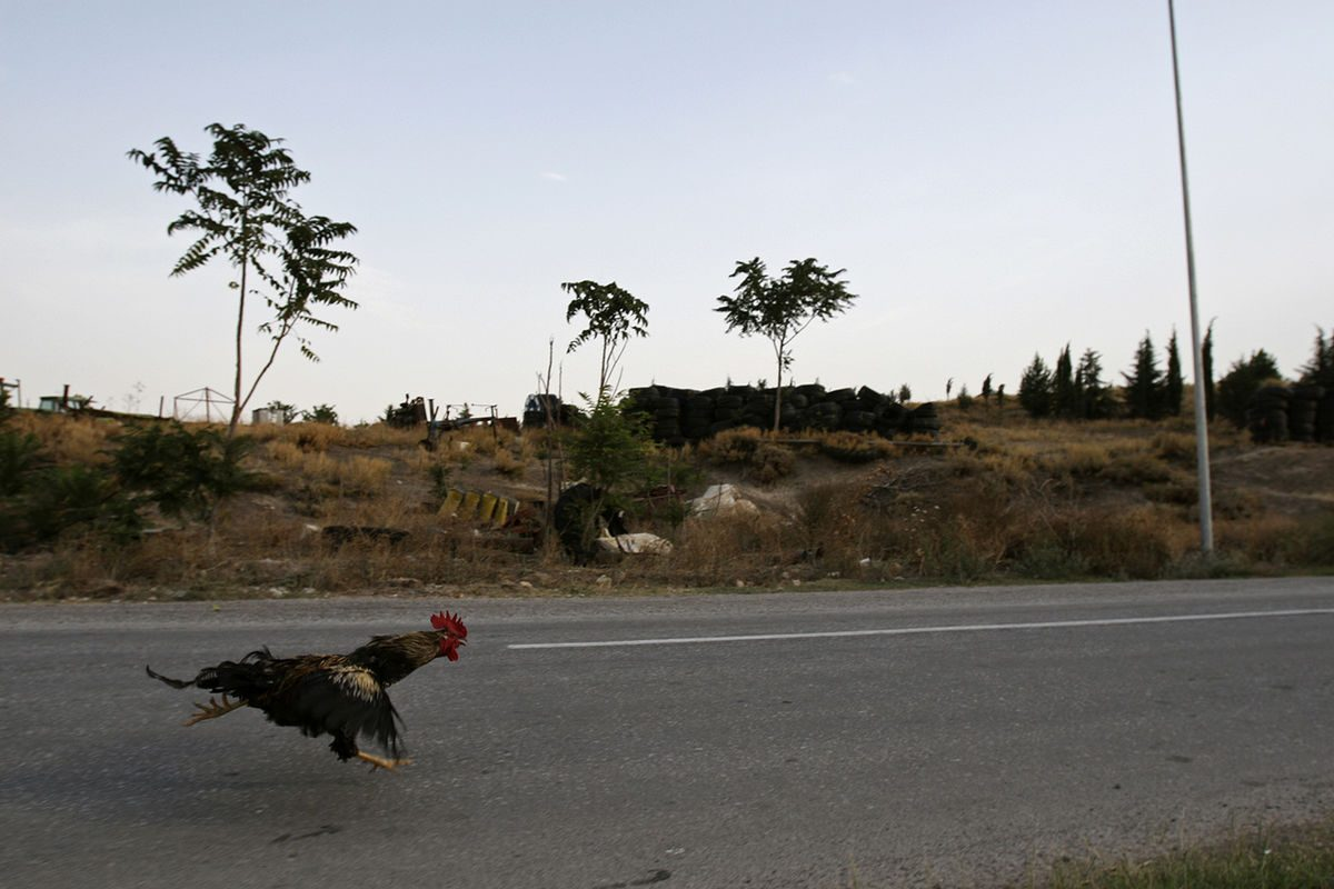 rooster running